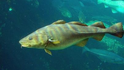Islândia: Gestão sustentável das pescas permite que stocks de bacalhau atinjam máximo dos últimos 30 anos