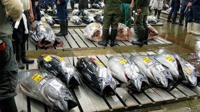 4 – Atum rabilho, esse tesouro que nos tem passado ao lado // por Valdemar Oliveira