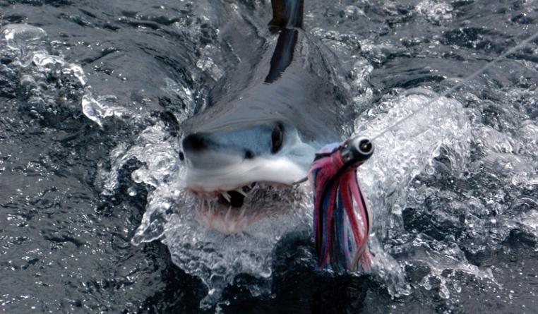Tubarões do Atlântico Norte ameaçados pela pesca excessiva