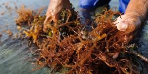 O renascer da apanha de algas
