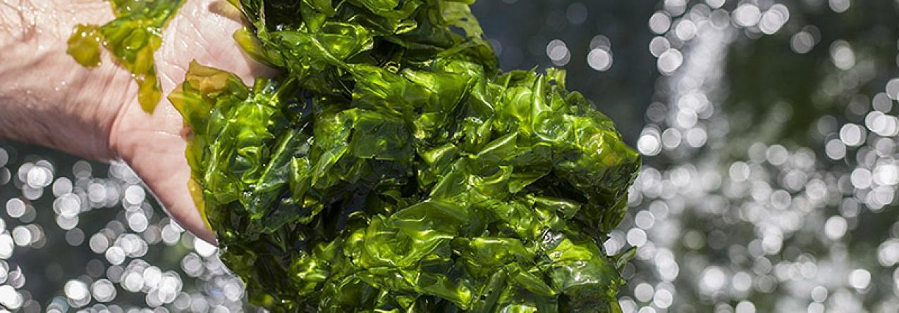 Apanha de algas e sua utilização com certificação garantida nos Açores