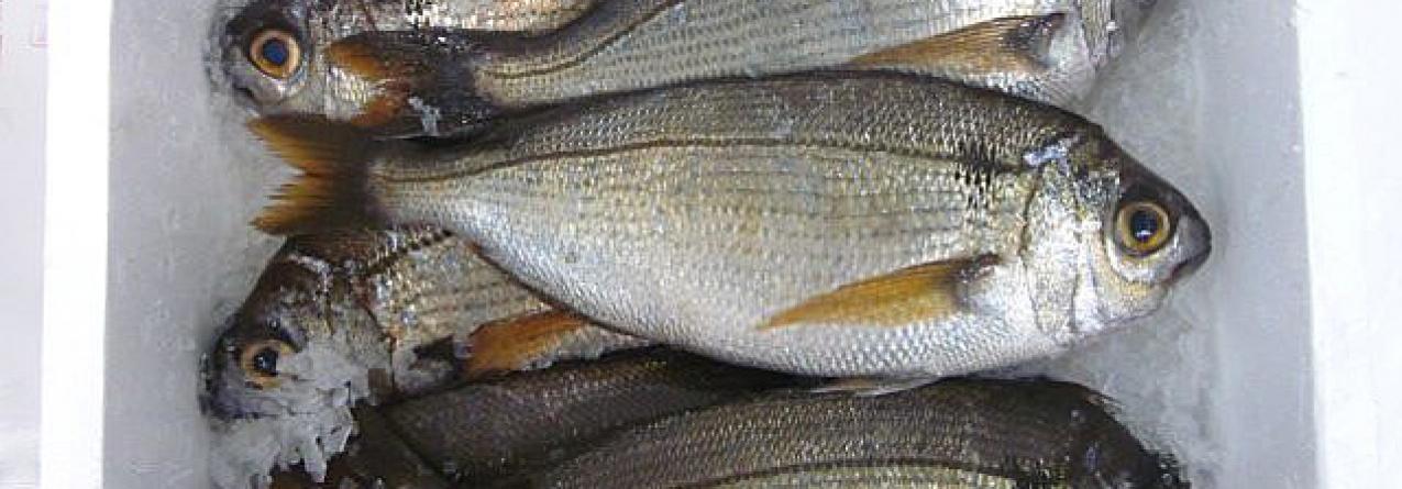 Inspeção Regional das Pescas dedicou especial atenção ao cumprimento do período de defeso do goraz