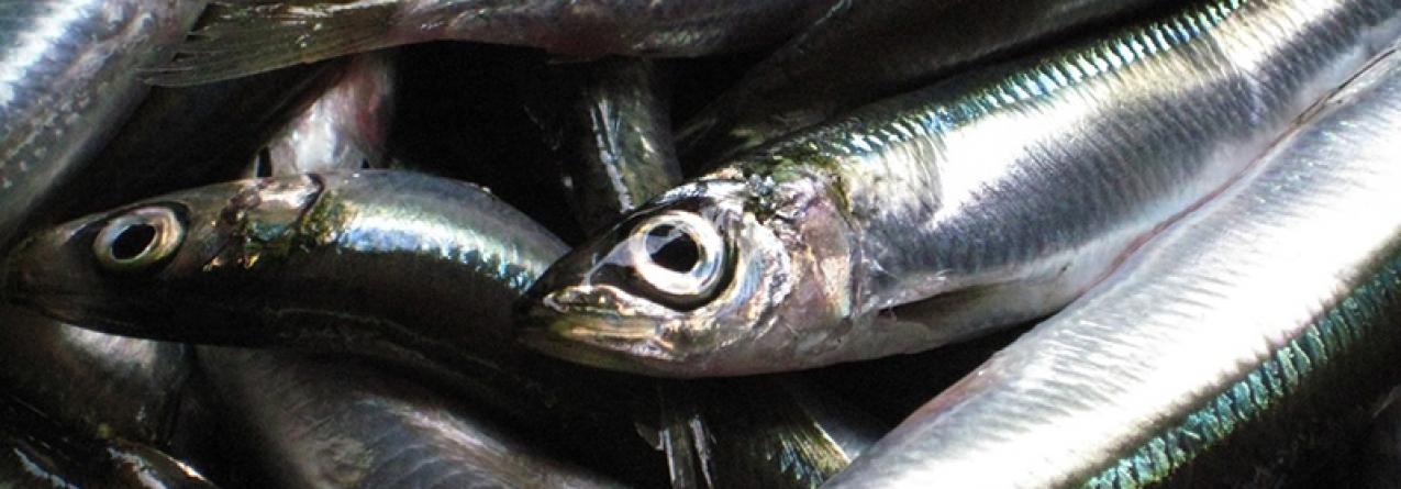 Pescadores pedem ao Governo para adiar pesca da sardinha para Maio