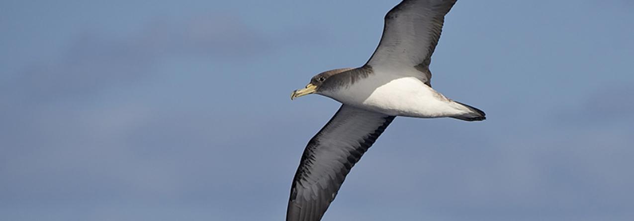 Açores vão ter Guia de Aves e Roteiros Interpretativos por Espécies ou Habitats