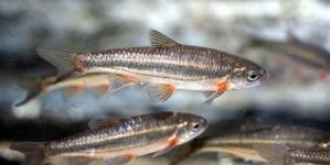 Peixes reproduzidos em cativeiro voltam ao meio natural