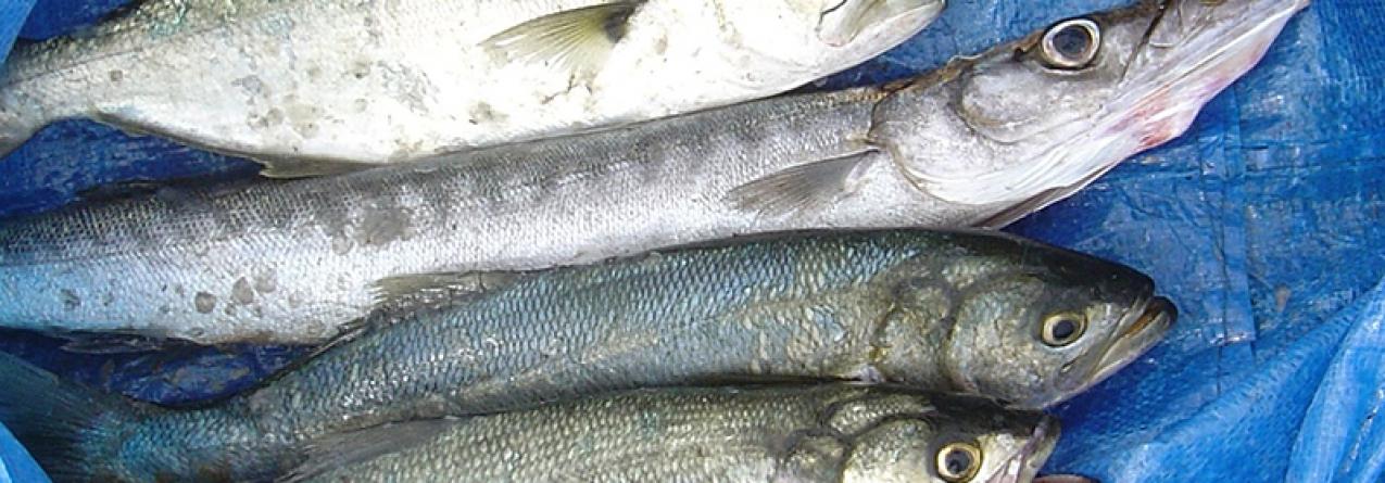 Zona Marítima do Faial e Pico // Governo quer proibir pesca no Monte da Guia, Ilhéus da Madalena e Baixa da Barca