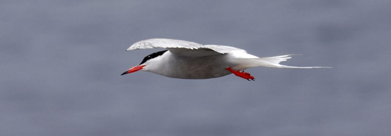 çores têm responsabilidade especial na conservação da biodiversidade de aves marinhas, afirma Brito e Abreu