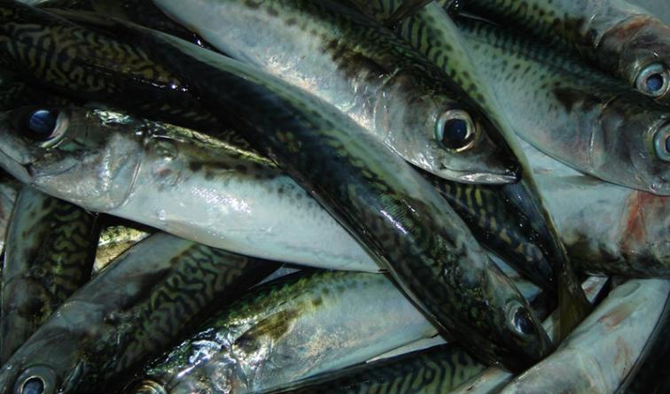 Apreendidos 194 quilos de pescado na ilha Terceira