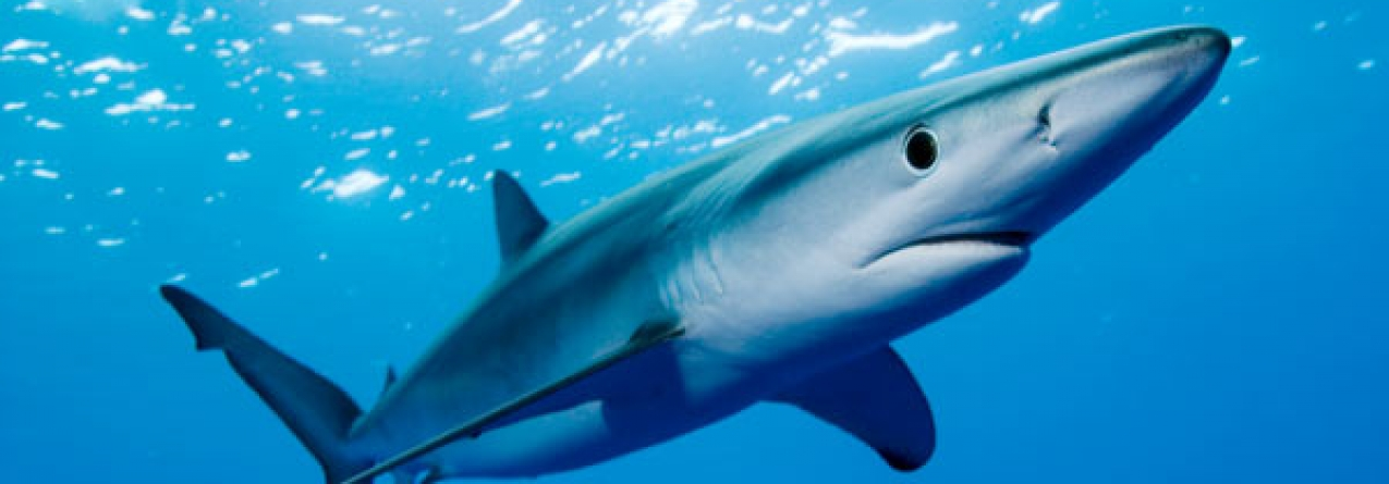 Pescadas 885,6 toneladas de tubarões azuis nos últimos 15 anos nos mares açorianos