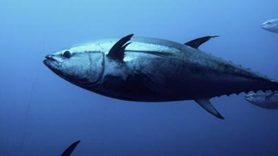 Programa internacional quer marcar 120 mil atuns no Atlântico, inclusive nos Açores