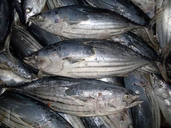 Dois atuneiros descarregam hoje 30 toneladas de 'bonito' em Ponta Delgada pescado ao largo de São Miguel