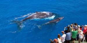 Açores // Quebra de 15% na observação de baleias no 1º semestre do ano