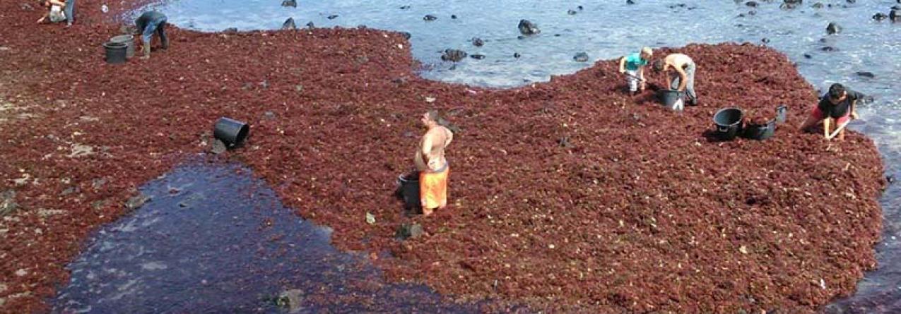Primeira venda em lota de algas que não se destinem ao consumo humano deixa de ser obrigatória nos Açores