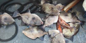Polícia Marítima de Ponta Delgada apreende 70 Kg de pescado