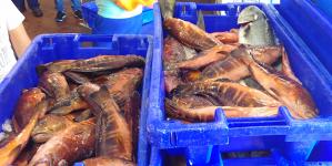Polícia marítima apreende 324 kg de pescado na costa da ilha de São Jorge