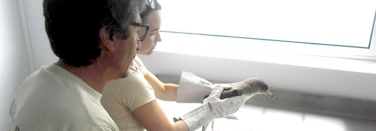 Um cagarro foi a primeira ave assistida no Centro de Reabilitação de Aves Selvagens da ilha de São Miguel