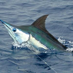 Recorde mundial de pesca grossa batido na Madeira