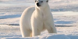Cientistas estiveram duas semanas cercados por ursos polares no Ártico