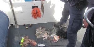Polícia Marítima apreende polvos capturados ilegalmente em São Miguel