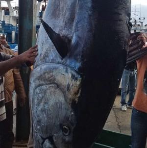 """Pequeno atuneiro ganha """"sorte grande"""" a poucos metros da costa da Madeira"""