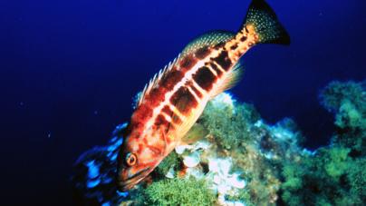 Garoupas não estão em risco de extinção nos mares dos Açores (vídeo)
