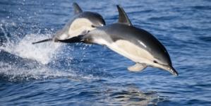 Interacção de golfinhos causa prejuízos anuais de 304 mil euros na pesca do atum nos Açores