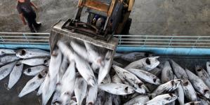 Pew: Pesca tradicional de atum em Portugal está ameaçada