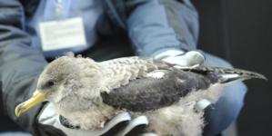 Campanha SOS Cagarro salva 6.100 aves nos Açores