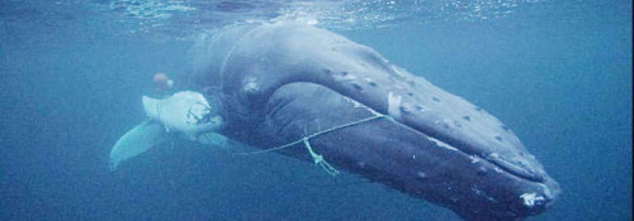 Fotógrafo Nuno Sá envolvido no resgate de uma baleia nos mares da Noruega