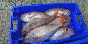 Pescadores protestam com a inspeção na Praia da Vitória (som)