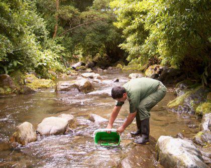 Serviços florestais dos Açores produzem 25 mil trutas por ano para repovoamento de ribeiras e lagoas