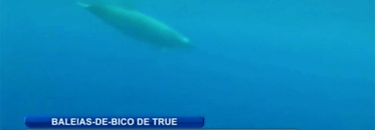 Espécie rara de baleias captada em vídeo ao largo dos Açores (vídeo)