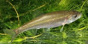 Espécies de peixe em perigo vão ser reintroduzidas em Sintra e Monchique