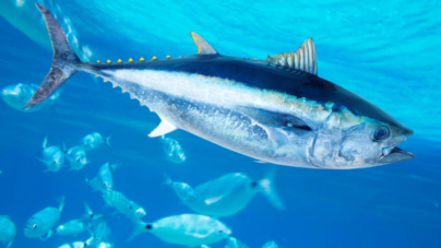 Governo dos Açores defende importância de corredores ecológicos para atuns
