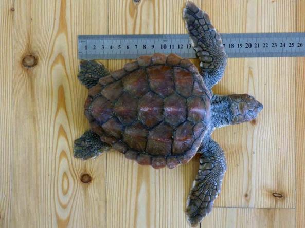 Tartaruga salva pelos Vigilantes da Natureza do Faial