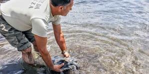 Vigilantes da Natureza salvam tartaruga-boba em São Miguel
