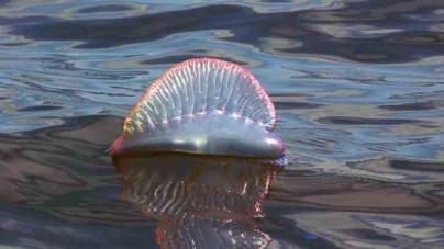 Direção Regional dos Assuntos do Mar e Autoridade Marítima Nacional alertam para cuidados a ter com águas-vivas