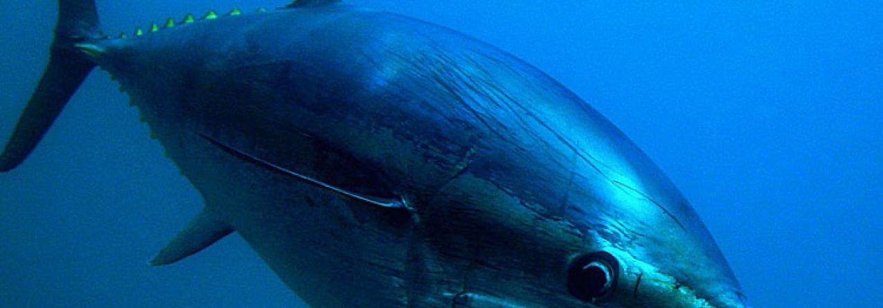 Madeira vê aumentada quota de atum rabilho