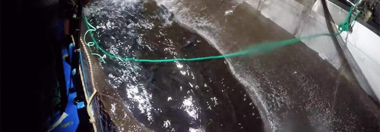 Pescadores de São Miguel podem capturar 400 quilos de chicharro por dia até 31 de dezembro