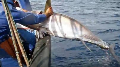 Porto de Abrigo diz que não é necessario estabelecer quotas para a pesca do atum nos mares dos Açores