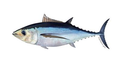 Governo dos Açores satisfeito com aumento de quota de atum voador no Atlântico Norte