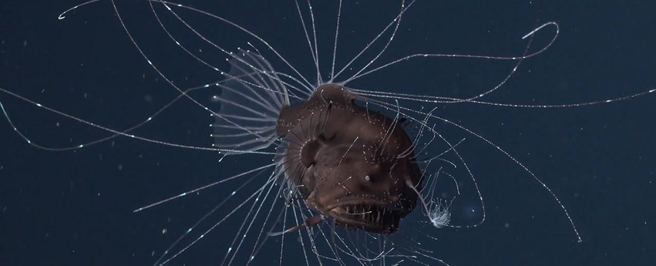 Peixe muito pouco conhecido é observado pela primeira vez nos Açores