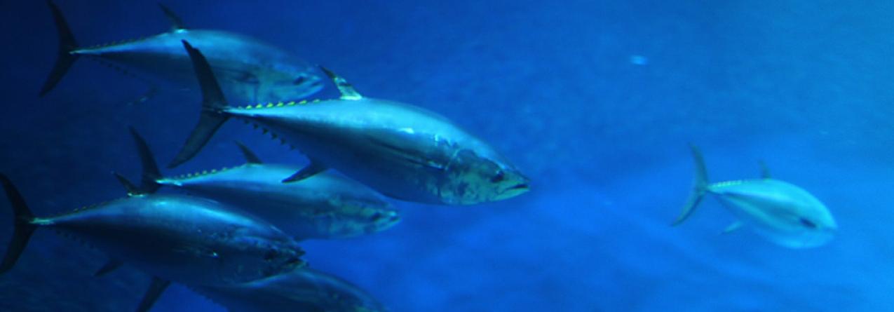 Possibilidade dos Açores terem quota de atum rabilho a partir de 2019