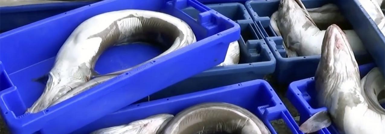 Açores // Pesca caiu mais de 63 mil quilos de Janeiro para Fevereiro