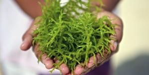 Açores e Madeira integram projeto de valorização das algas marinhas