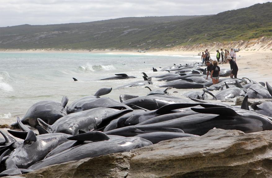 Mais de uma centena de baleias morrem encalhadas numa praia na Austrália