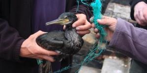 Menos aves marinhas capturadas em redes de emalhar