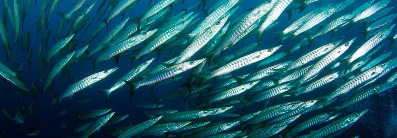 Aquecimento global: Reservas de peixe poderão cair drasticamente