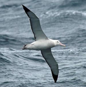 Albatrozes podem transformar-se em vigilantes de pesca ilegal