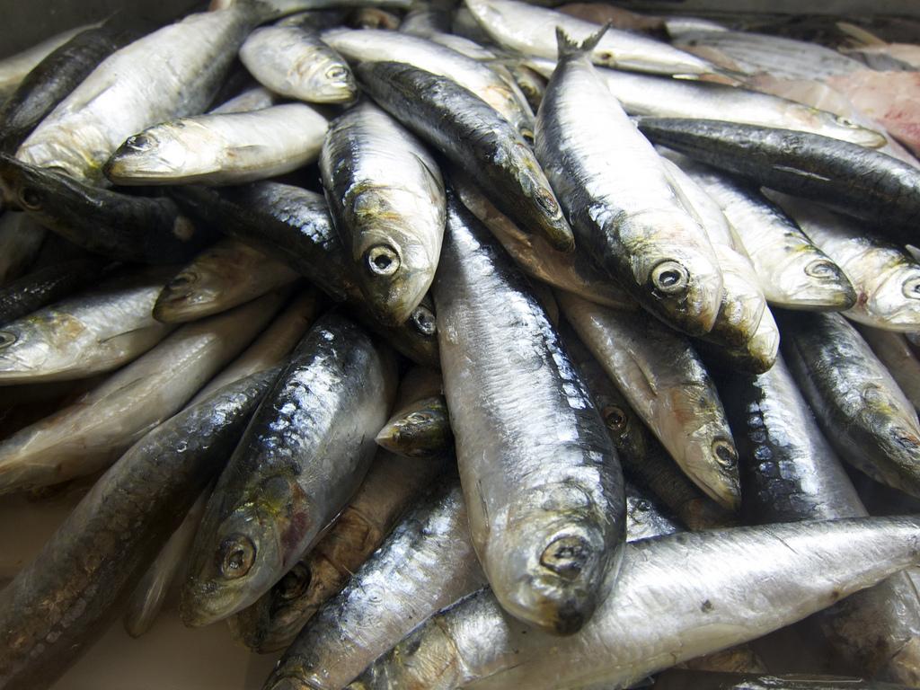 Governo prolonga proibição de pesca da sardinha até 20 de maio
